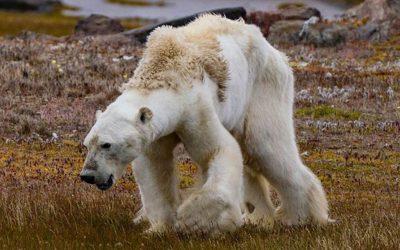 El oso famélico de Canadá y su relación con el cambio climático