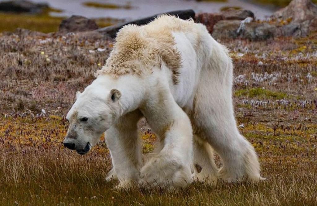 L'ós famèlic del Canadà i la seva relació amb el canvi climàtic
