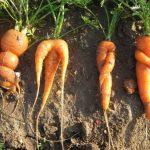 Recuperar verduras 'feas' ayuda a combatir el cambio climático