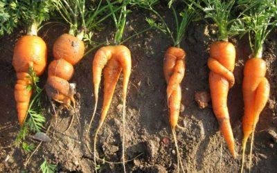Recuperar verdures 'lletges' ajuda a combatre el canvi climàtic