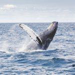 ¿Por qué las ballenas tienen un papel tan importante en la lucha contra el cambio climático?