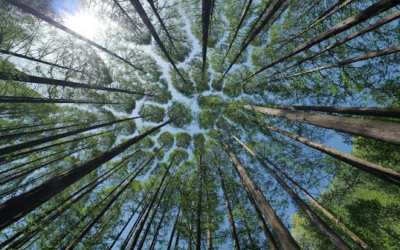 Els boscos són excel·lents embornals de CO2